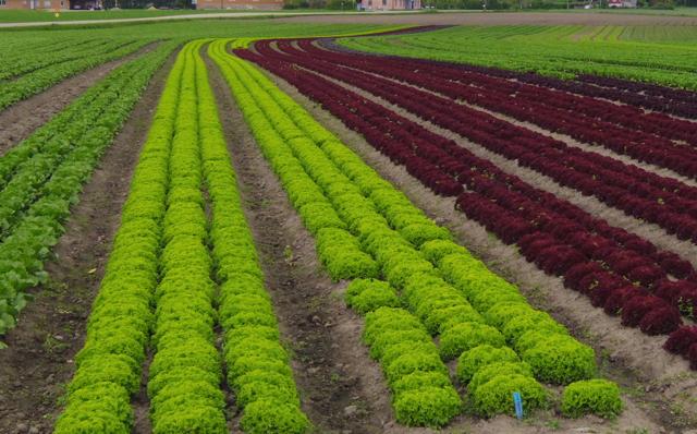 lettuce Bjäre
